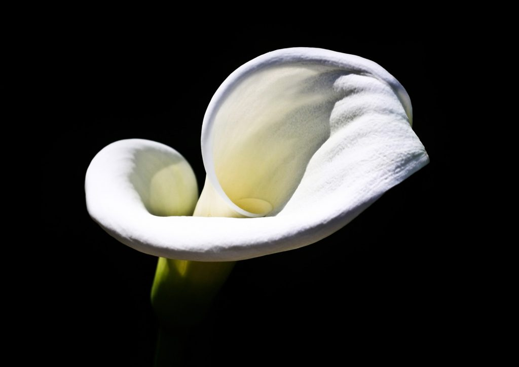 a white cala lily against a black background