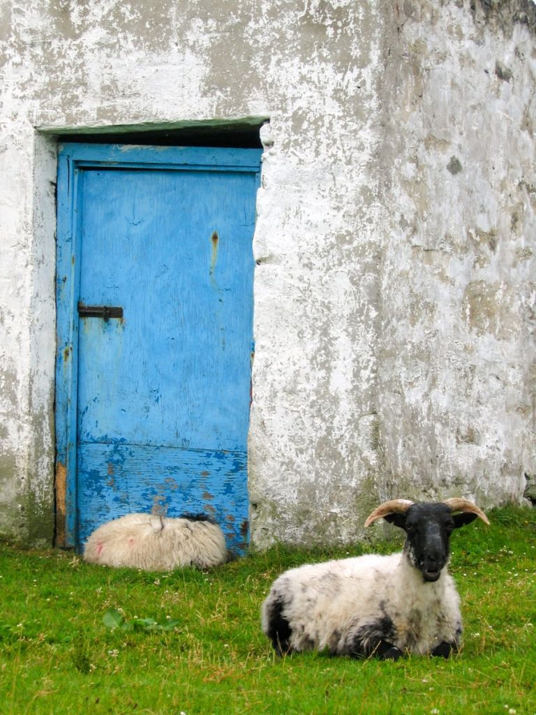 a lamb sitting in front of a blue doorway