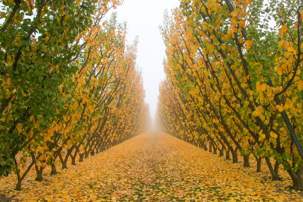 crops and fields make this beautiful view of symmetrical yellow trees