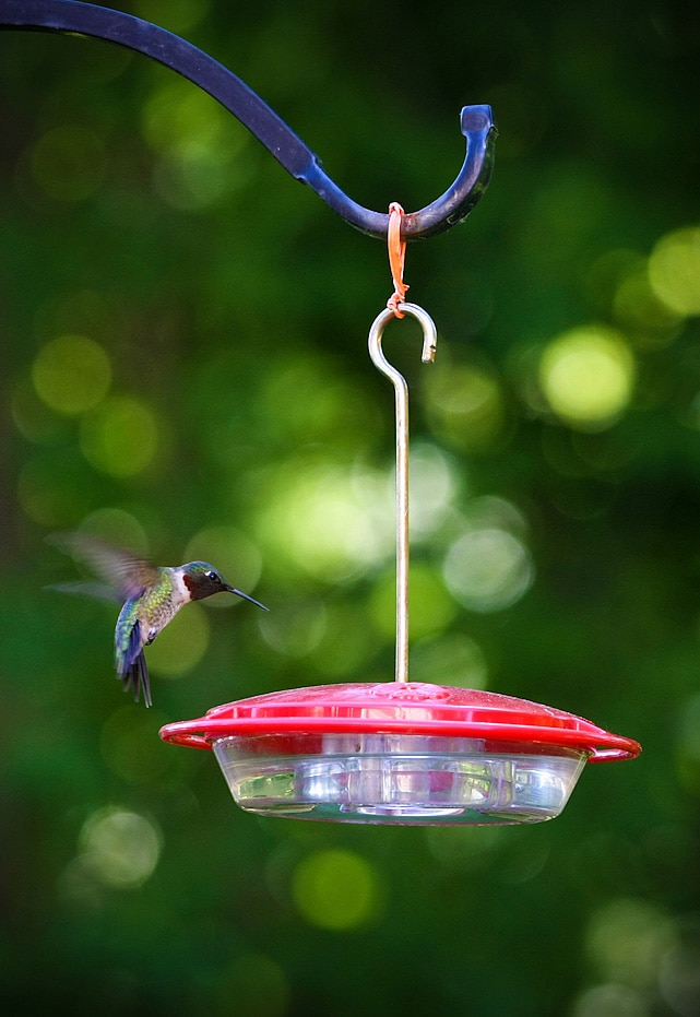 a hummingbird feeds from a feeder